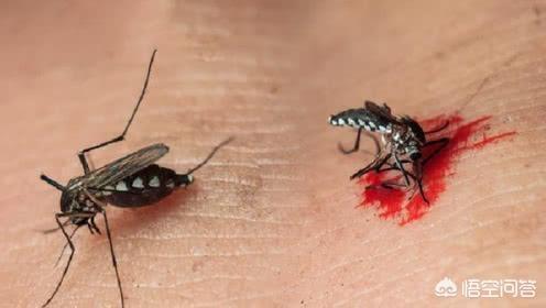 蚊子吸血的时候把它拍死,它的针管会留在体内吗?