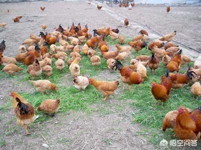 在农村包山散养土鸡自己在城市开店卖可以赚钱吗